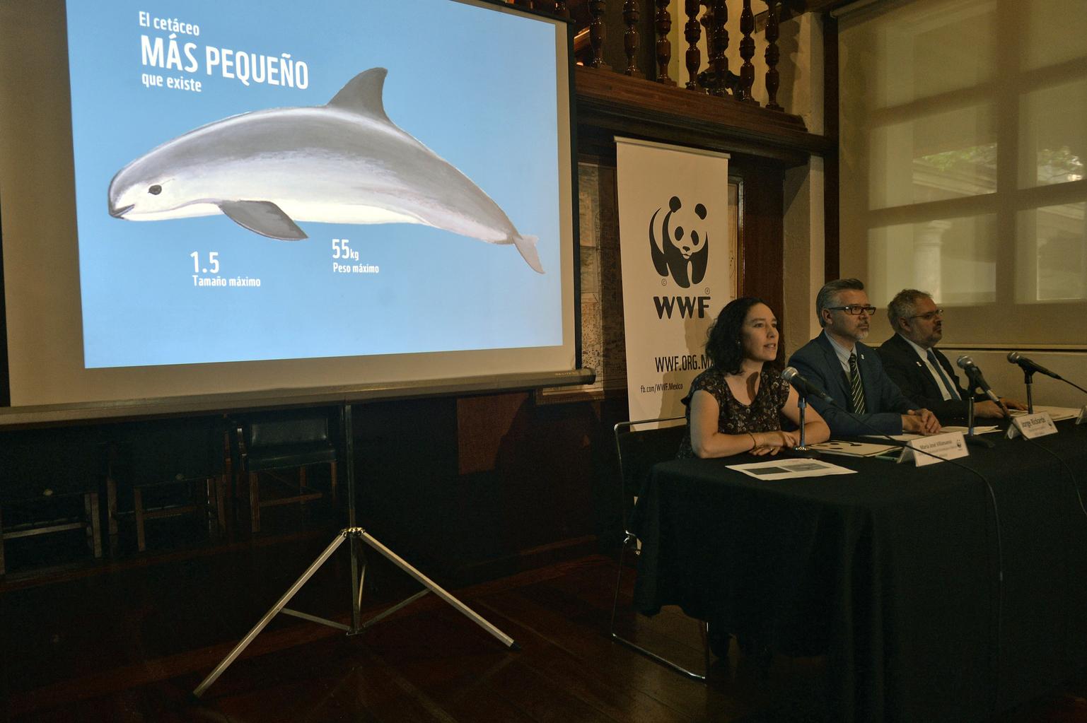 A WWF igazgatói, Maria Jose Villanueva (balra), Jorge Richards (középen) és  Enrique Sanjurjo mutatja be a vaquita (Phocoena sinus) súlyos helyzetét a május 15-én tartott mexikóvárosi sajtóeseményen. (Fotó: AFP)