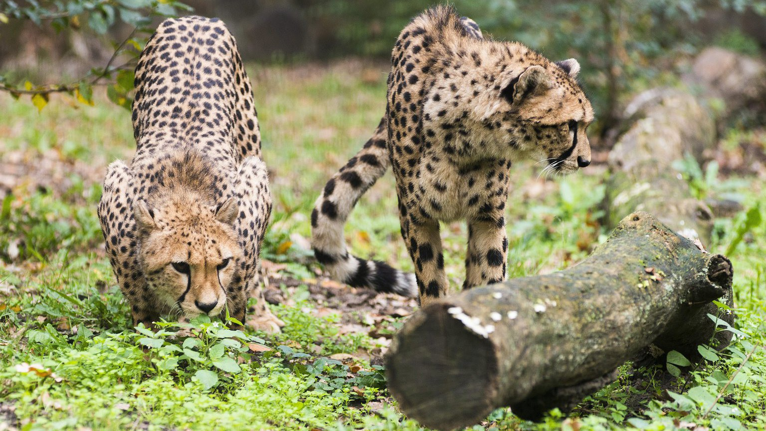 Taiga és Tiara, a Nyíregyházi Állatpark két új nőstény gepárdja (Acinonyx jubatus) a park Tarzan ösvényének kifutójában (MTI Fotó: Balázs Attila)
