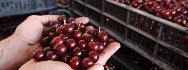 Ukrajnában is keresett a magyar gyümölcs