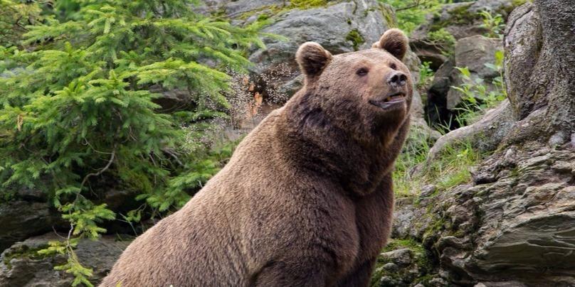 Videón az Udvarhelyre betévedt medve
