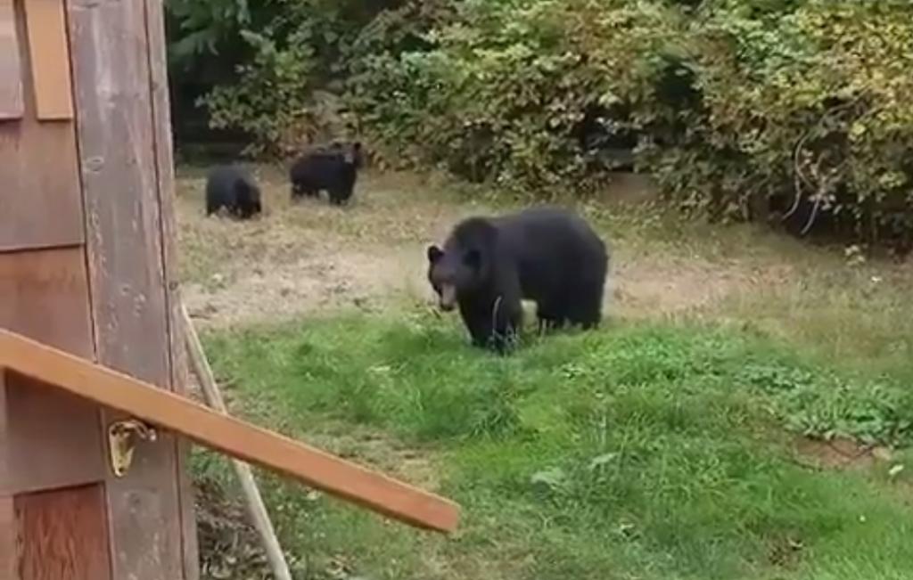 Duruzsolva küldte el a kertjébe tévedt medvéket egy kanadai férfi