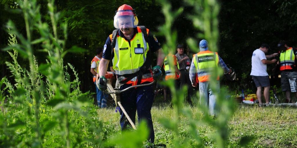 Egy eddig szinte ismeretlen veszélyes fűfaj terjed Magyarországon