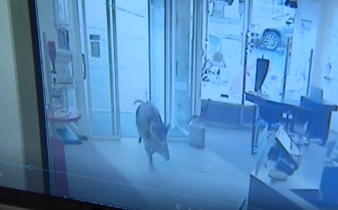 Vaddisznók támadtak egy német kisvárosra