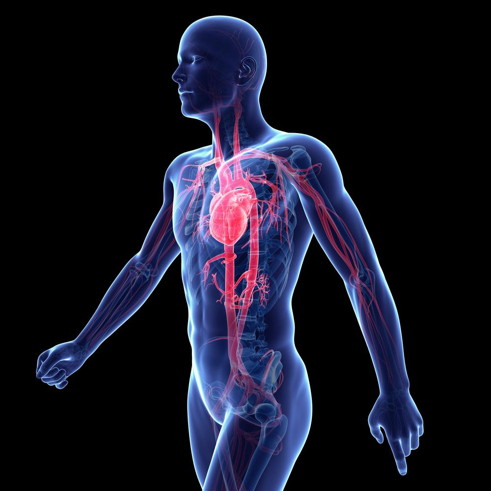 Stockphoto - kardiovaszkuláris - rendszer - test - szív - ér