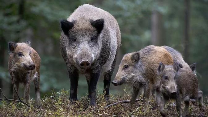 Szabolcs-Szatmár-Bereg megyében fertőzött vaddisznókat találtak
