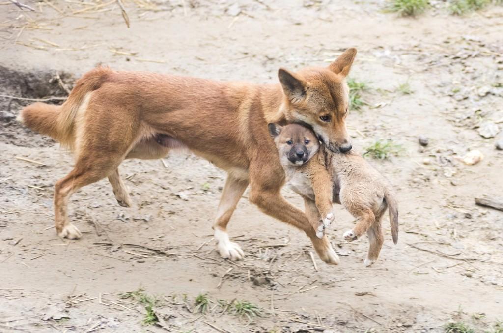 Dingó támadt rá egy kisfiúra Ausztráliában