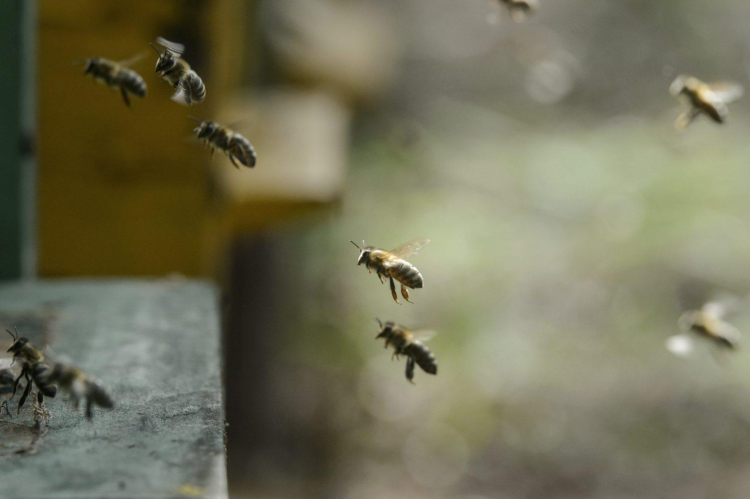 Méhek repülnek egy kaptár bejáratánál a Heves megyei Kál közelében 2016. április 26-án (MTI-fotó: Komka Péter)