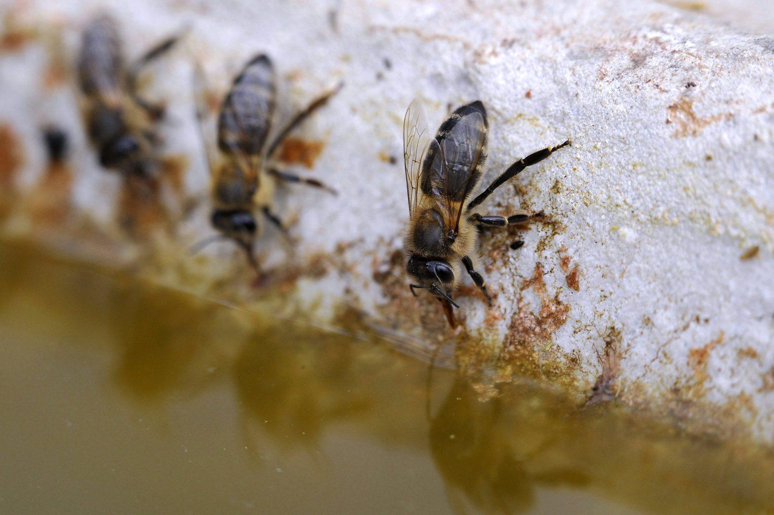 Háziméhek (Apis mellifera) isznak a Pacsmagi Halastavak Természetvédelmi Területen 2016. március 30-án (MTI-fotó: Kovács Attila)