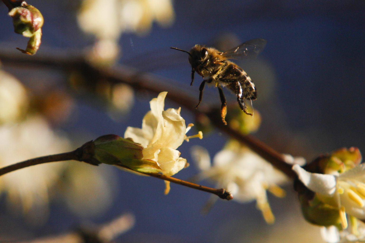 Egy méh virágport gyűjt egy virágzó korai loncról (Lonicera x purpusii) a nagykanizsai Csónakázó-tónál 2014. január 12-én (MTI-fotó: Varga György)