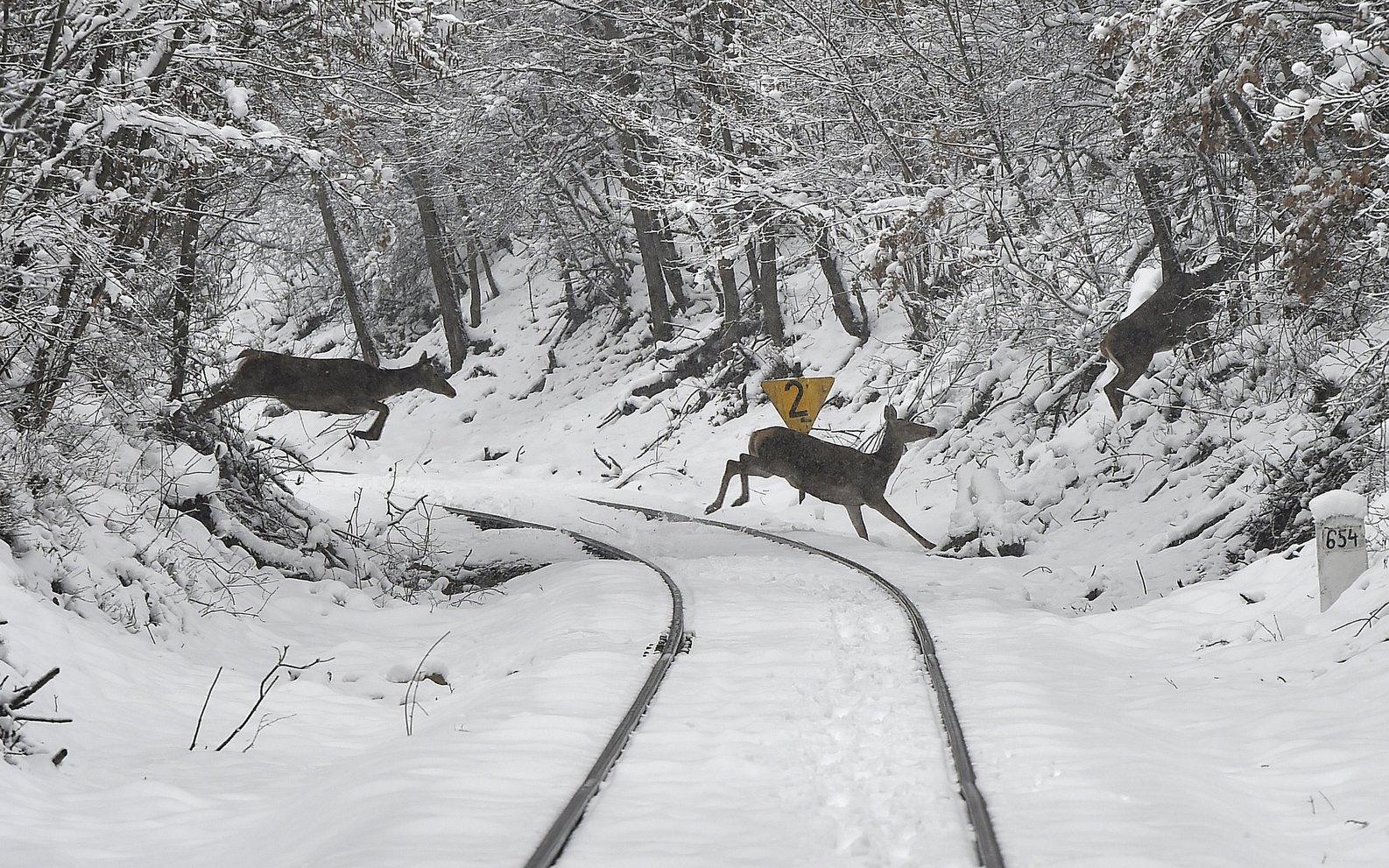 Őzek ugranak át a Veszprém és Eplény közötti vasútvonalon a havas Bakonyban 2018. február 23-án. MTI Fotó: Máthé Zoltán