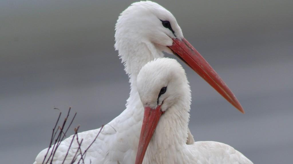 Délvidéken él a Szerbiába érkező gólyák 80 százaléka