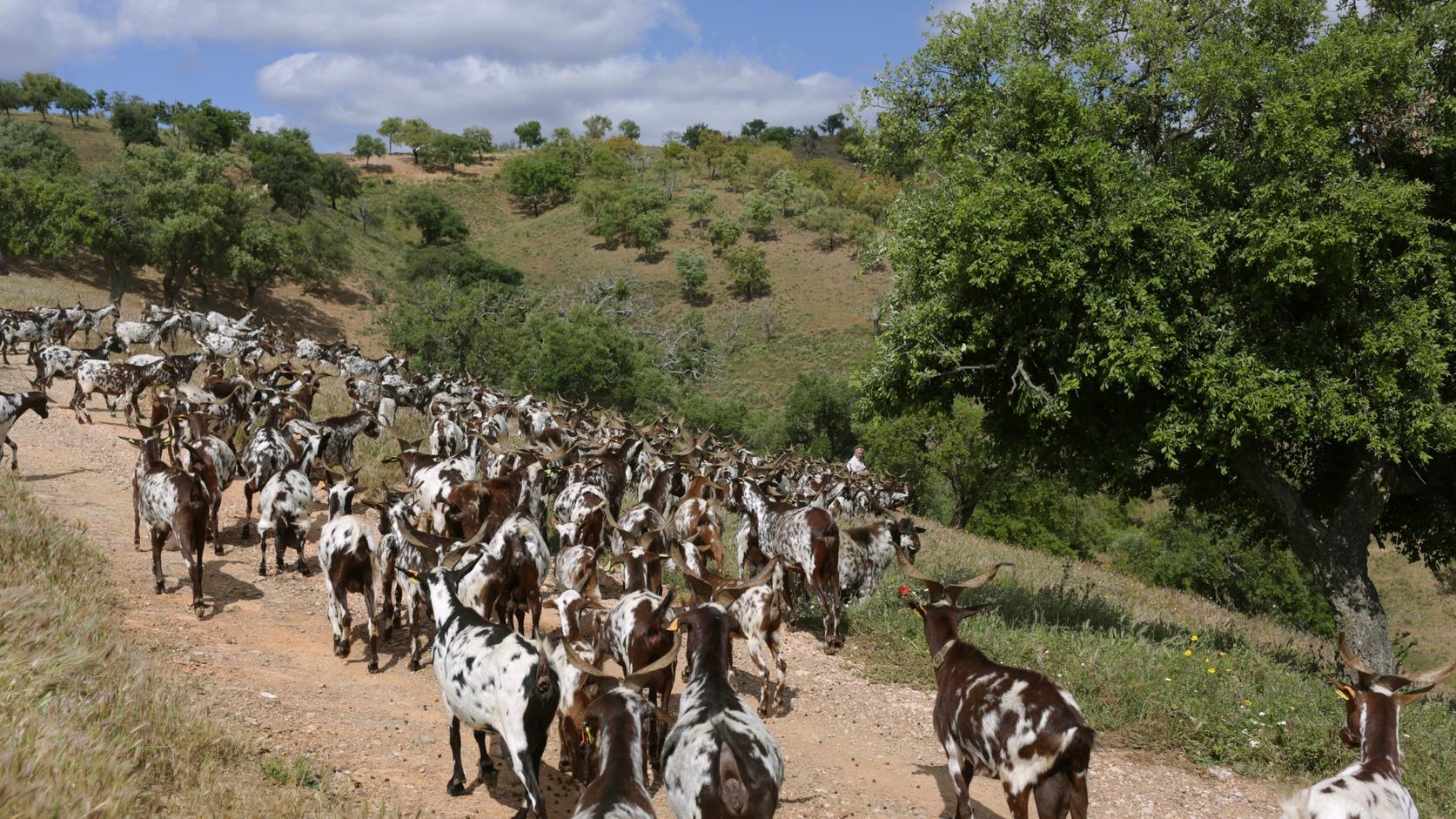 Moita da Guerra, 2018. június 13. Kecskenyájat terelnek egy hegyoldalon az erdő felé a dél-portugáliai  Moita da Guerra közelében 2018. június 5-én. A portugál kormány kecskék bevetésével vette fel a harcot a nyári erdőtüzek ellen, országszerte több tucatnyi több száz fős kecskenyáj legel az erdőségekben, hogy a lehető legnagyobb mértékben megtisztítsa azokat az aljnövényzettől. (MTI/AP/Armando Franca)