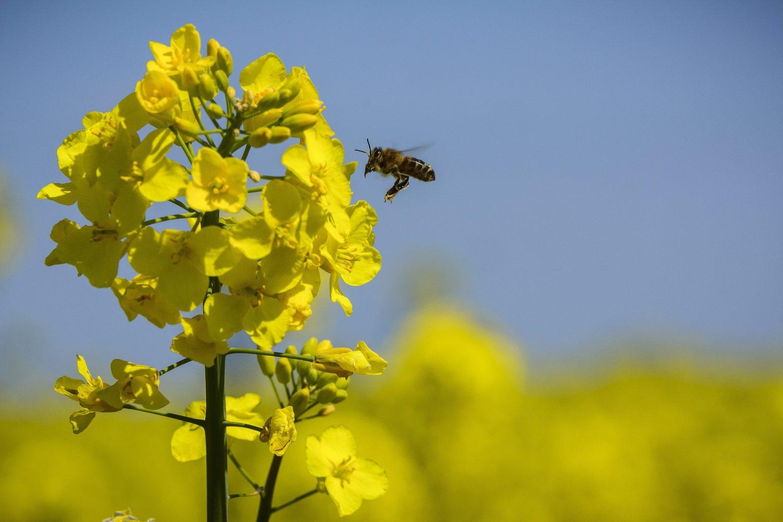 Egy méh száll a virágzó repcére Debrecen határában (Fotó: MTI/Czeglédi Zsolt)