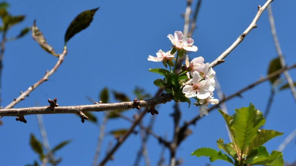 A hosszú szép ősz előcsalogatta újra a tavaszi virágokat is a fákon ... 40b2f105f6