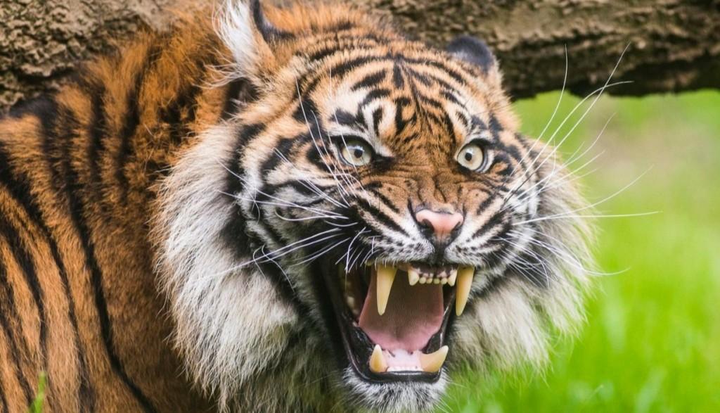 Tigris sebesített meg súlyosan egy állatvédőt Arizonában