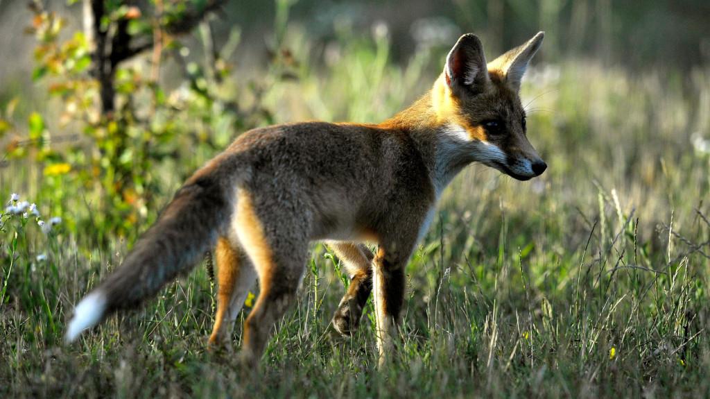 Kezdődik a rókák vakcinázása, be kell zárni a kutyákat
