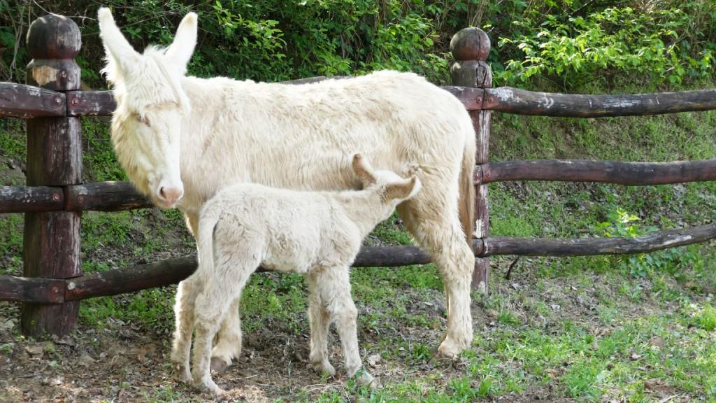 Fehér csacsik születtek a Debreceni Állatkertben