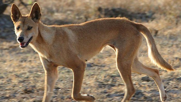 Dingó ragadott el egy 14 hónapos gyereket, az apja mentette meg