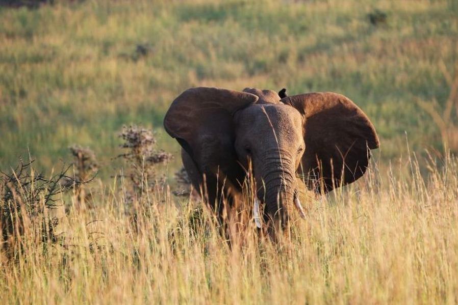Védett elefántot ejtett el egy vadász Botswanában