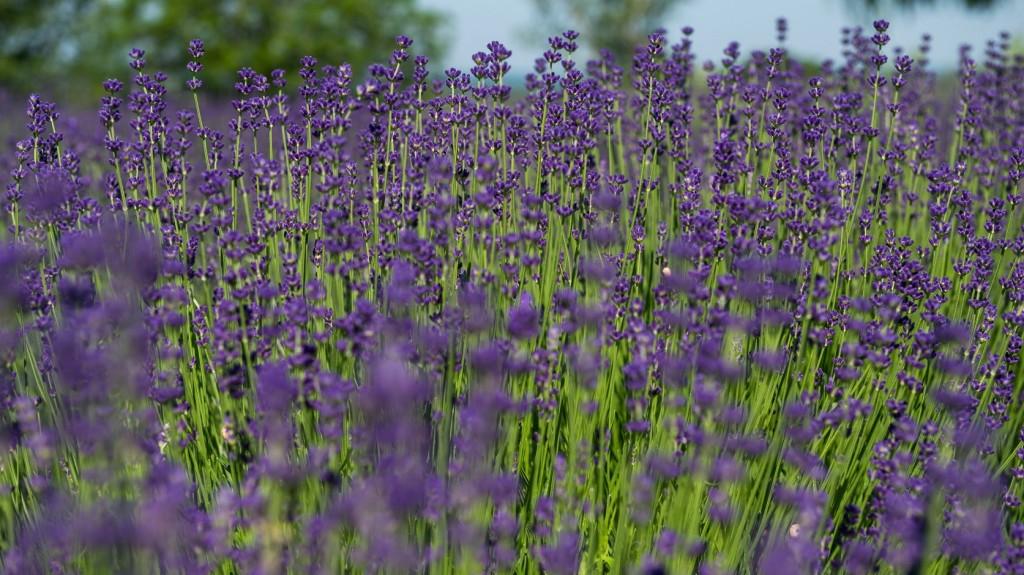 Elkezdődött a levendulaszüret a Balaton-felvidéki Nemzeti Parkban