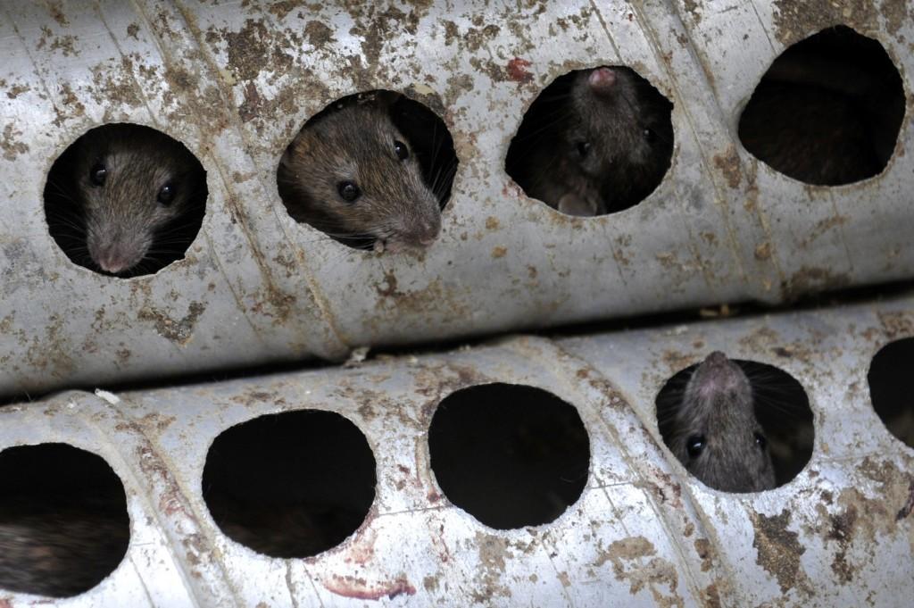 Újra felütötte a fejét a leptospirózis Sydney-ben a patkányinvázió miatt