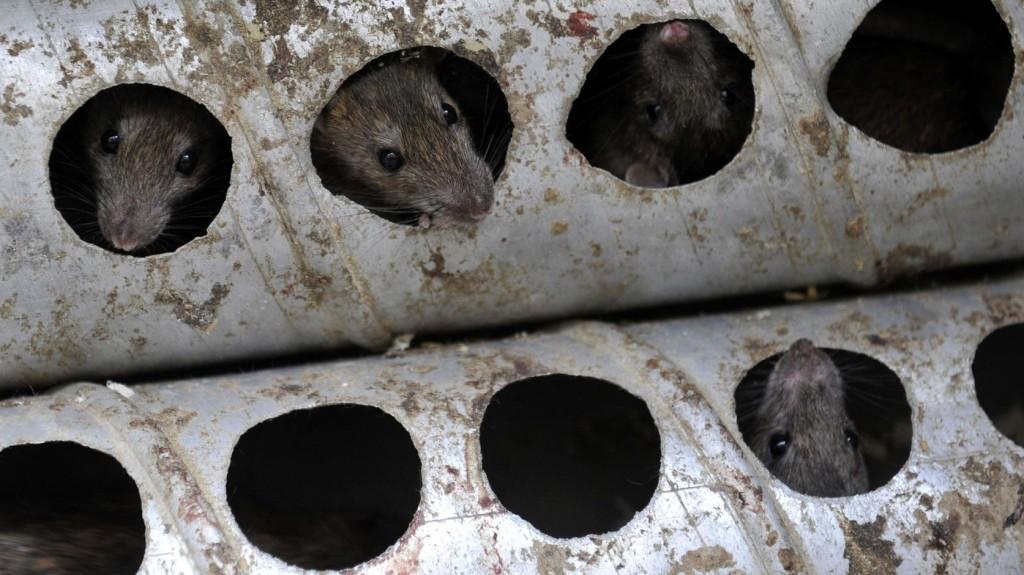 Újabb területeken végzik a patkányirtást a fővárosban
