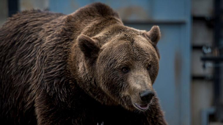 Embert ölt egy medve Maros megyében