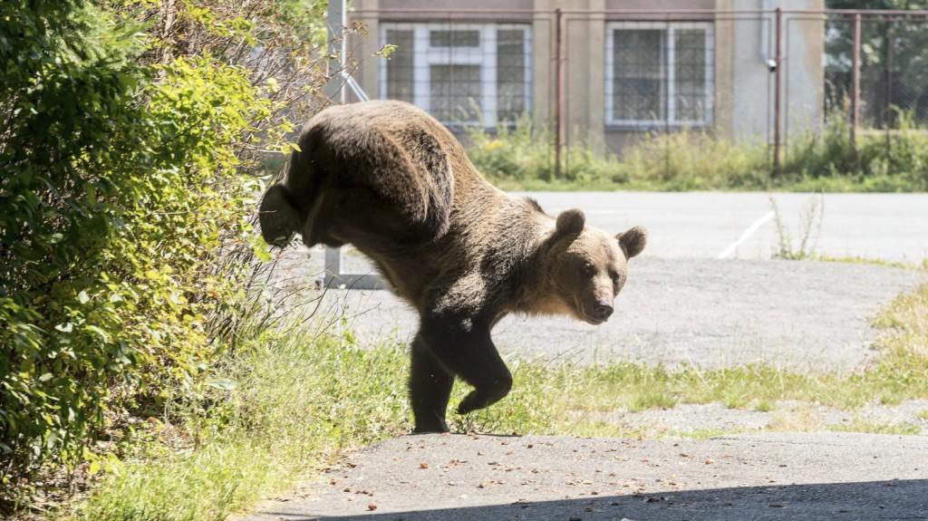 Origo: Betört négy medve egy románia hotelbe