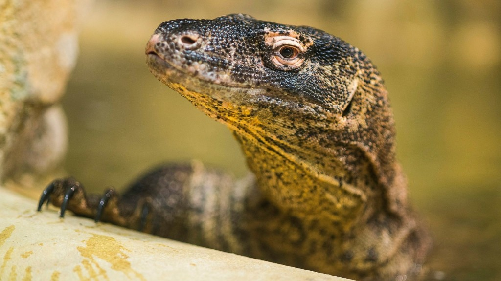 A komodói sárkányt a turisták mentették meg, 2020-ban mégis lezárják előlük a szigetet