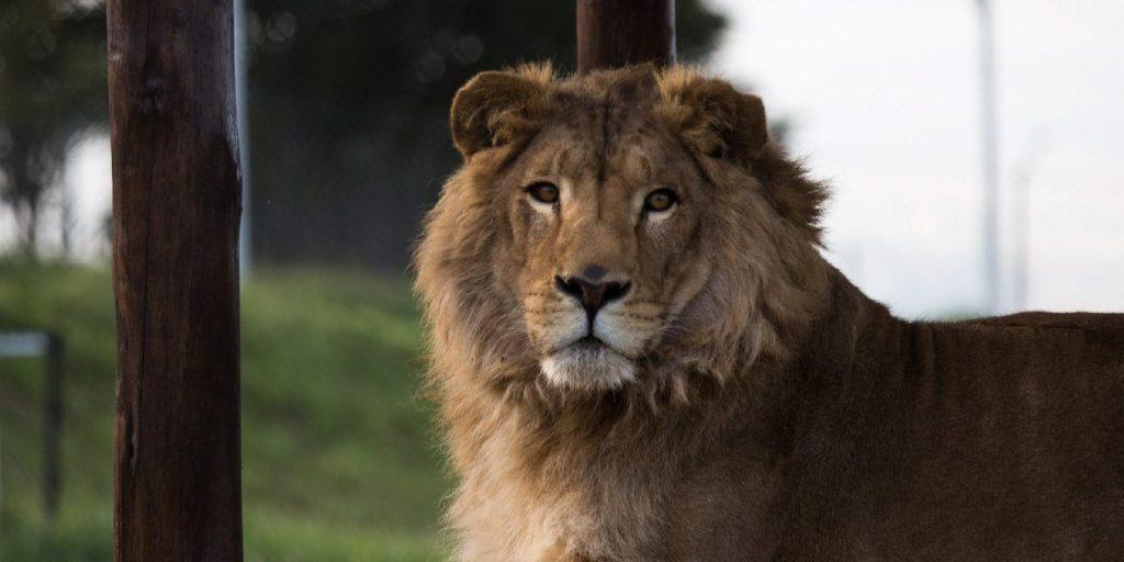 Kóbor oroszlánokat fogtak el a tanzániai vadvédelmi hatóságok