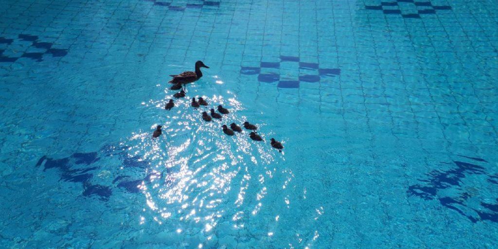 Vízimadarak vették át az uralmat a Lukács Gyógyfürdőben