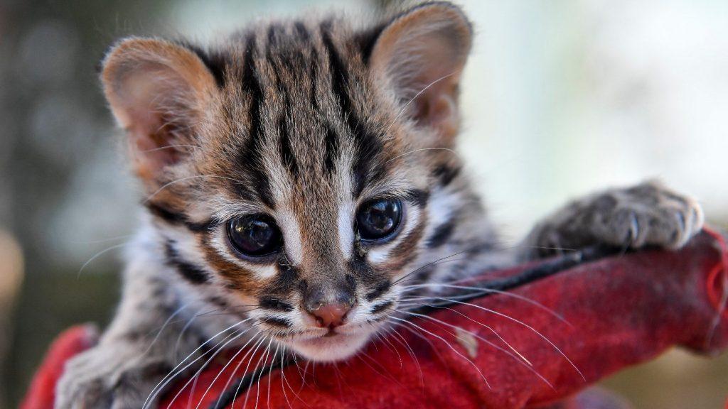 Leopárdmacska született a debreceni állatkertben