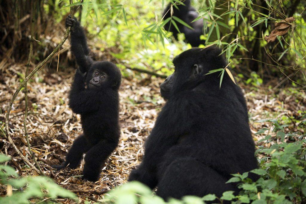 Megbabonázta egy kisbaba az állatkerti gorillát