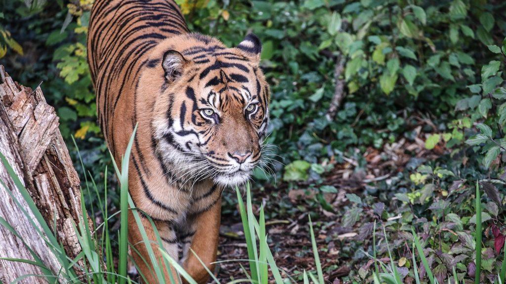 Lefoglaltak két tigrist, miután egyiküket egy mexikói város utcáin járkálva filmezték le