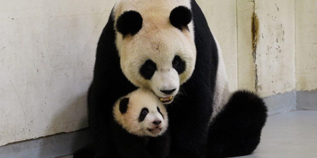 Napi cukiságbomba: pandabocs született egy kínai rezervátumban