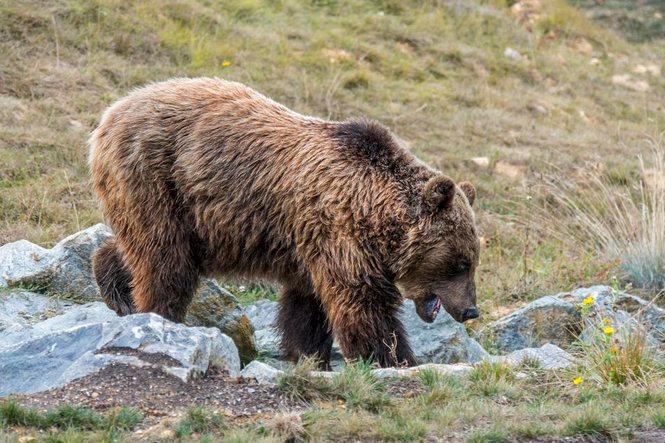 Gyalázatos módon egy herceg lőtte le az Európai Unió vélhetően legnagyobb medvéjét