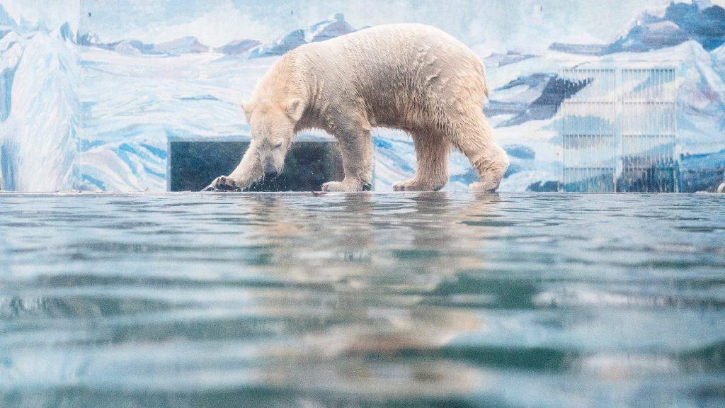 Megtámadta egy jegesmedve, apróbb sérülésekkel megúszta