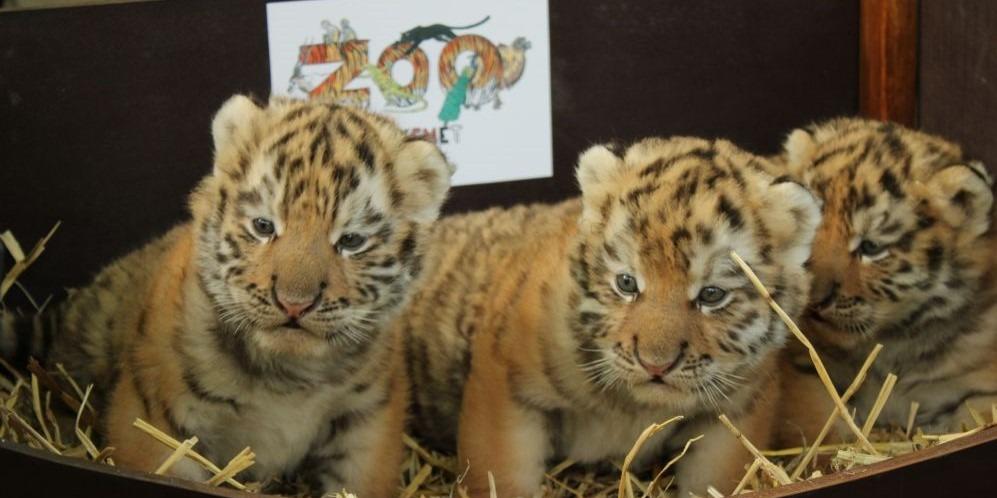 Először születtek tigriskölykök a Kecskeméti Vadaskert történetében - VIDEÓ