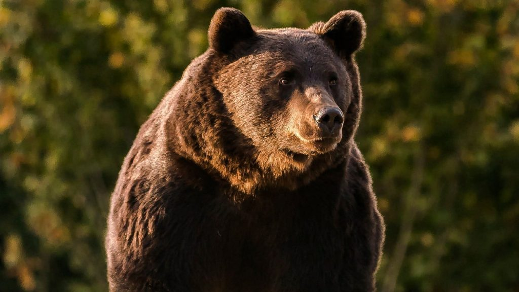 Majdnem kisült a villanypóznán a medve