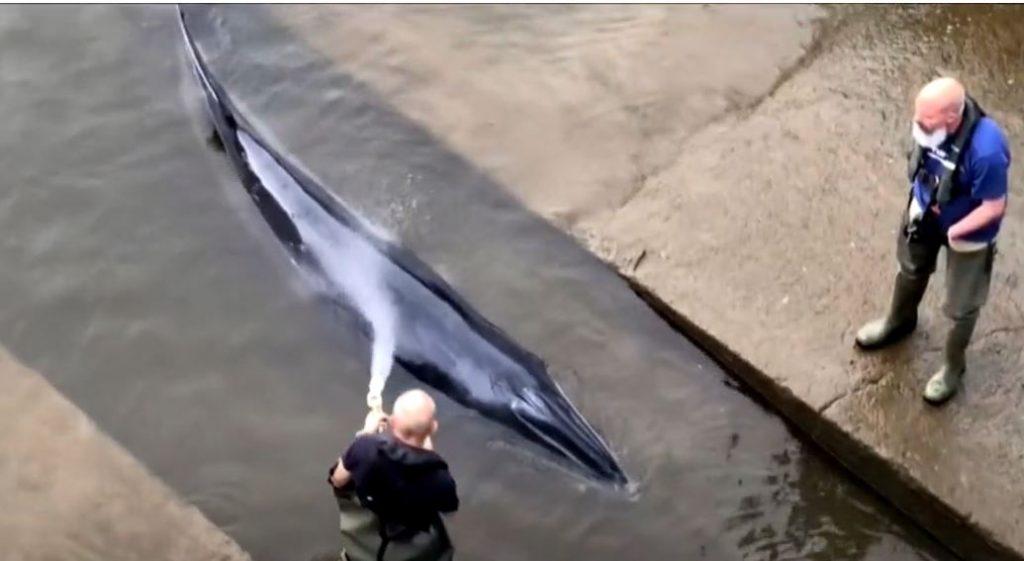 Tragikus fordulatot vett a Temzéből kimentett bálna sorsa