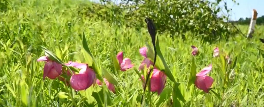 Látott már a szibériai erdőben vad orchideát? Most megmutatjuk!