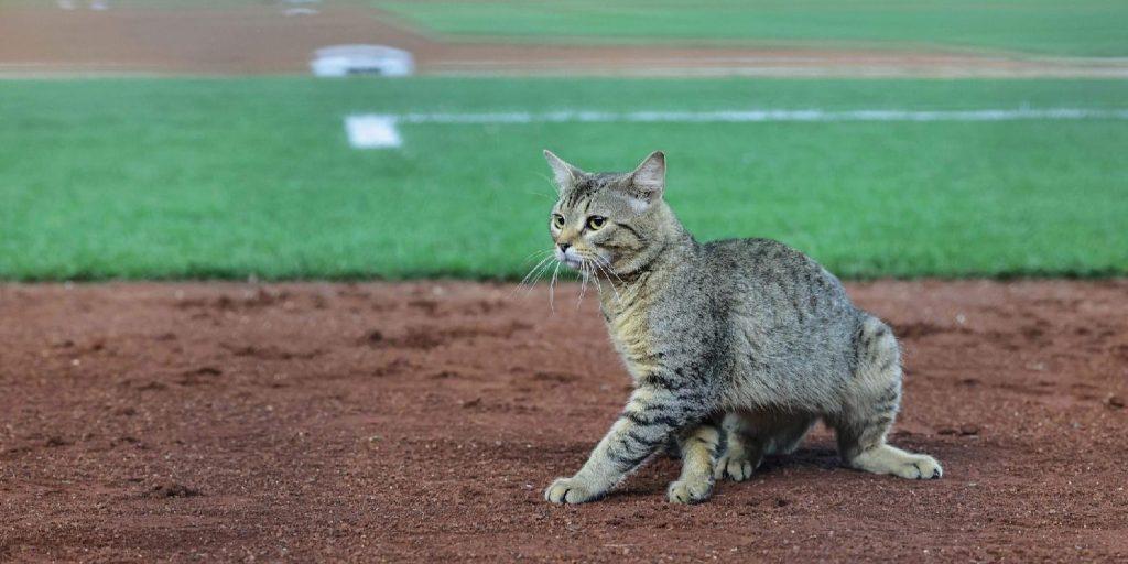 Egy egész stadion kevés volt, hogy elkapják a pályán randalírozó macskát
