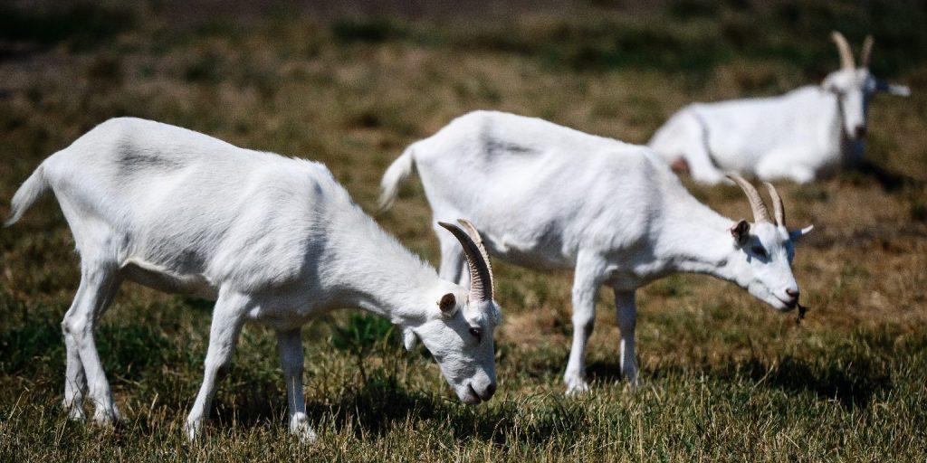 Megbolondul az internet a sólymot elpáholó kecskéért – VIDEÓ