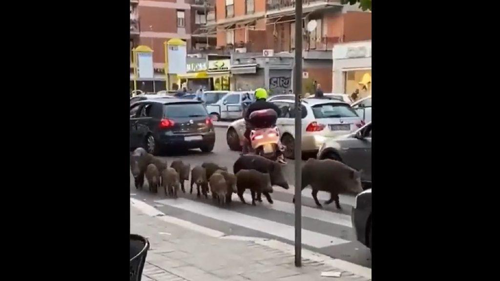 Vaddisznók kóboroltak Róma utcáin – VIDEÓ