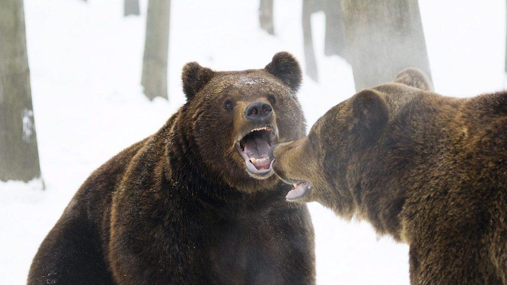 A medve és a bokszoló harca: széttépte barátját, ő késsel védte életét