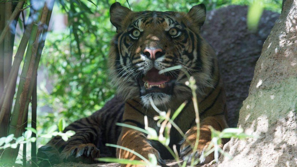 Embereket ölt a tigris