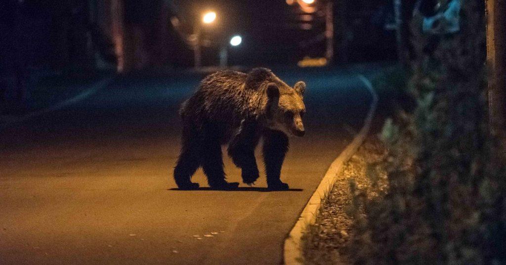 Kapualjba kergette a medve a csíki gazdát – VIDEÓ!